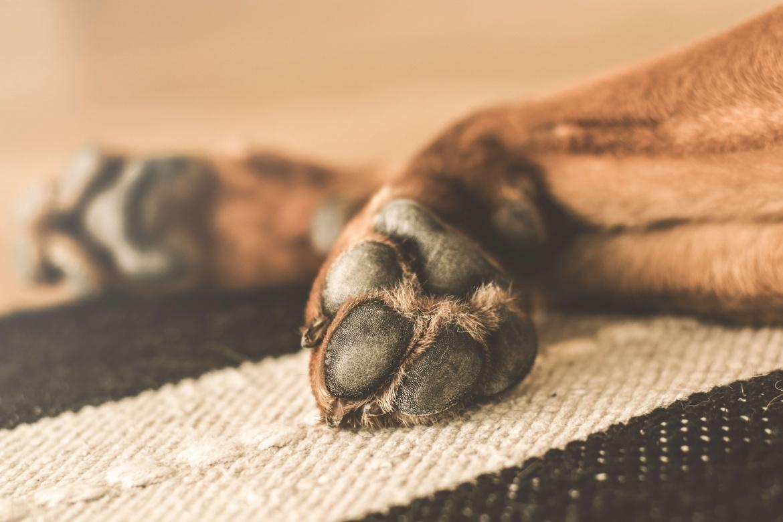 Canine Osteoarthritis